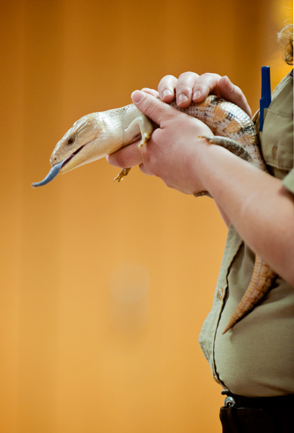 Binder Park Zoo�s Amanda Bailiff holds a Blue Tongued Skink at Knee High Naturalists.