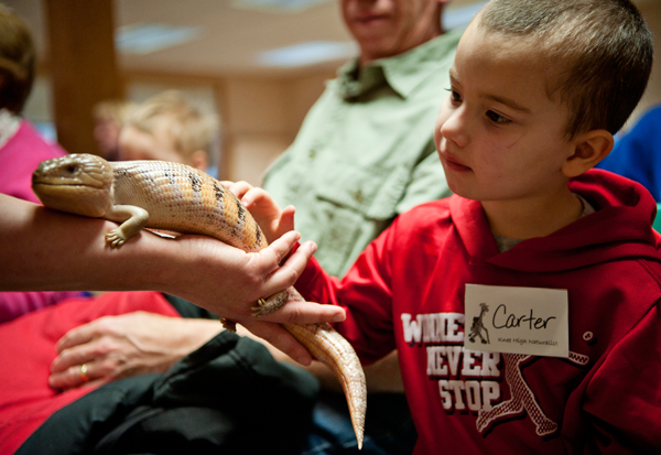 Carter Hansom, 3, pets a Blue Tongued Skink at Knee High Naturalists.